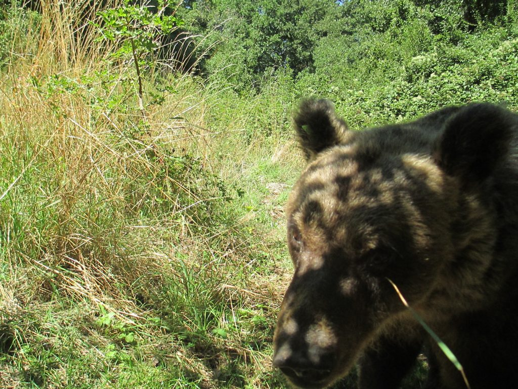 el oso, que hemos visto en el parque natural de Abruzzo