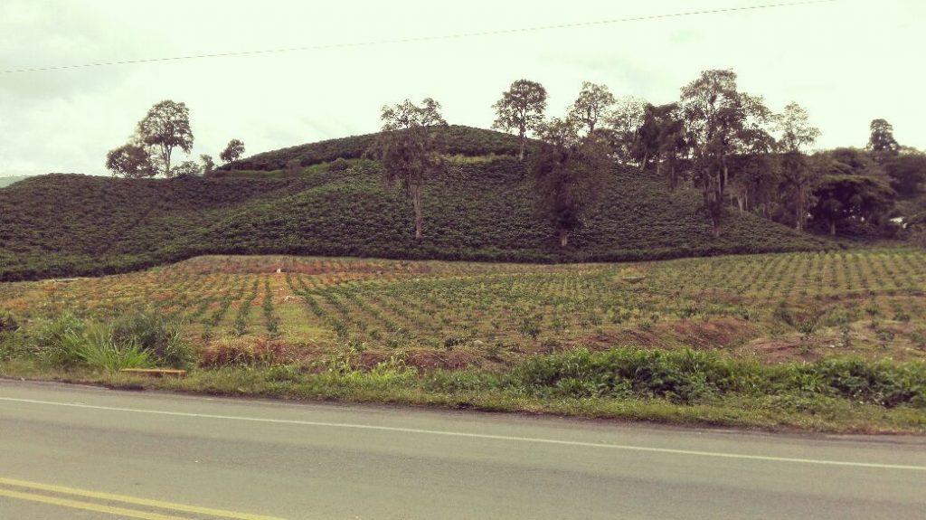 cultivos-de-cafè-quindio-colombia